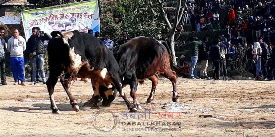 bull fight nuwakot nepal