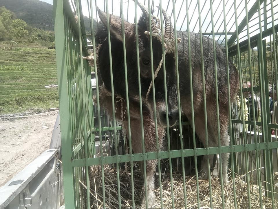 Goral found nuwakot